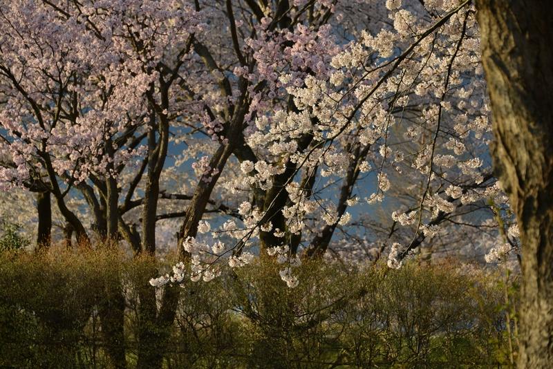 桜 夕陽を浴びて-3