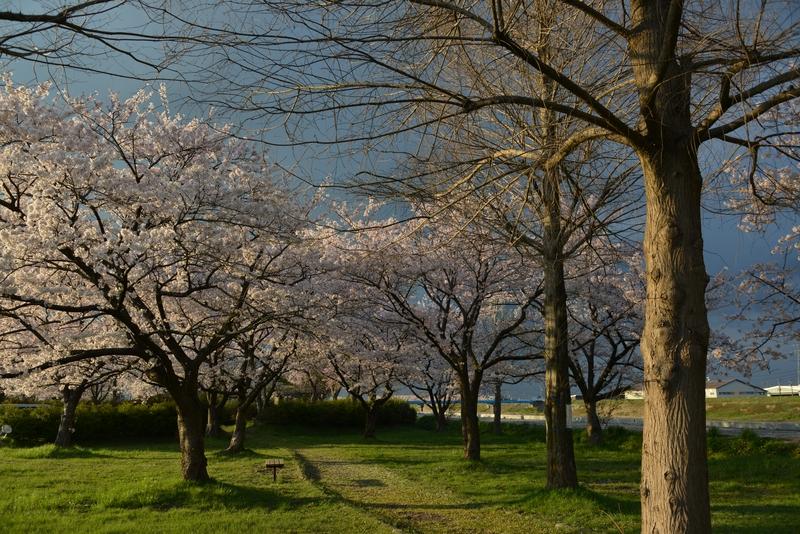 桜 夕陽を浴びて-4