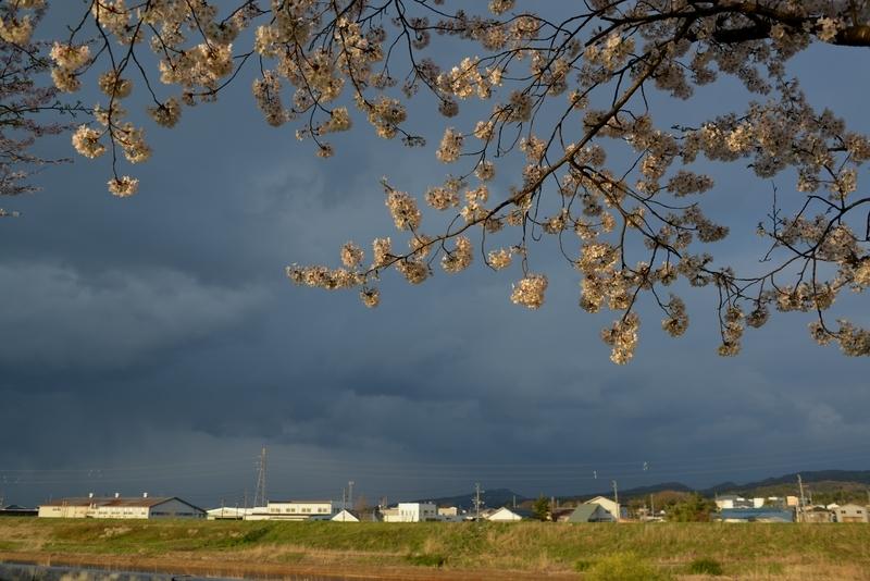 桜 夕陽を浴びて-5