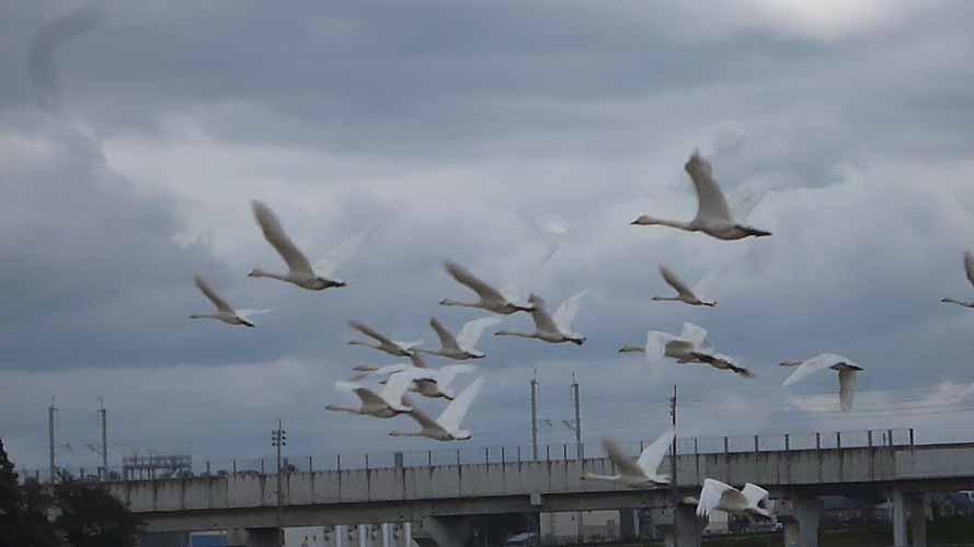 白鳥空飛ぶ