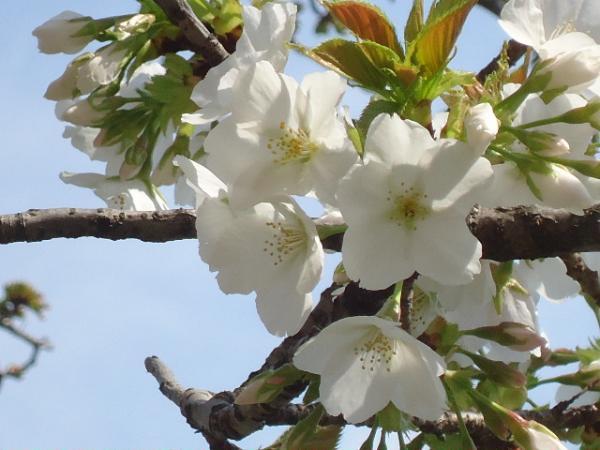 3/27 桜とサイゼリヤ・ミートソース&真イカ