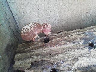 151015庭の椎茸