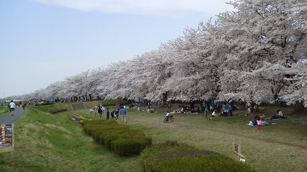 160406河川敷の桜