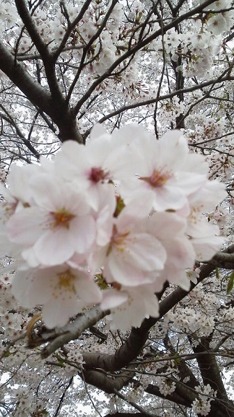 160406河川敷桜2