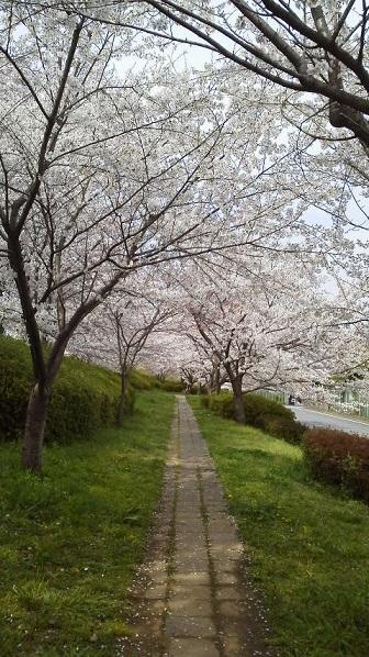 160406桜のトンネル
