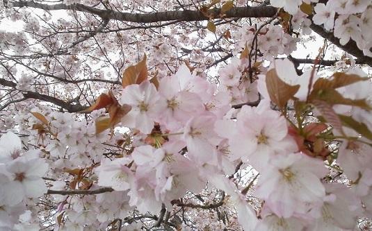 160406河川敷桜3