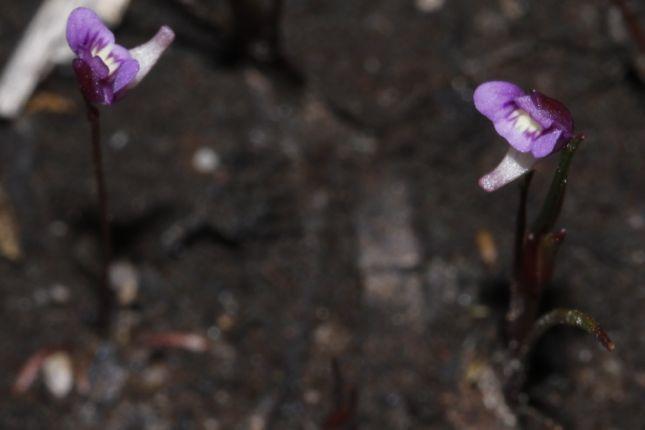 10:3UtriculariaViolacea2