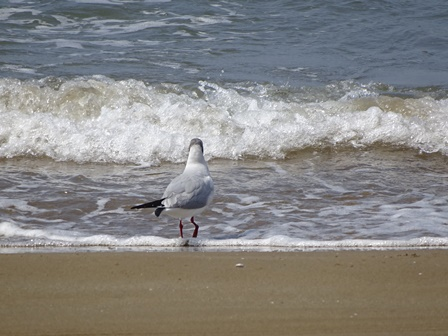 渚のカモメ