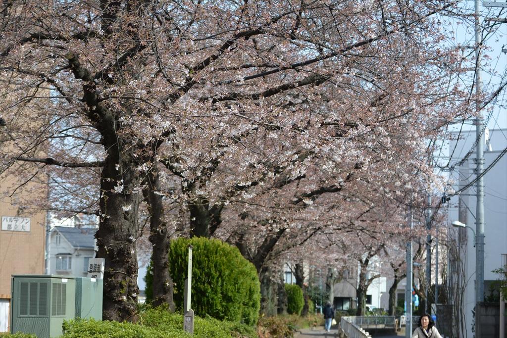 昨29日の桜_5