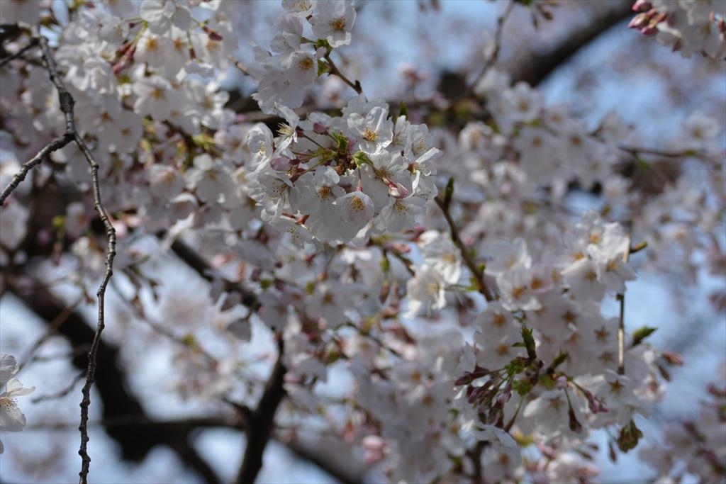 昨29日の桜_6