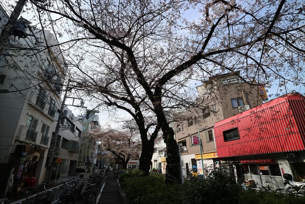 昨29日の桜_1
