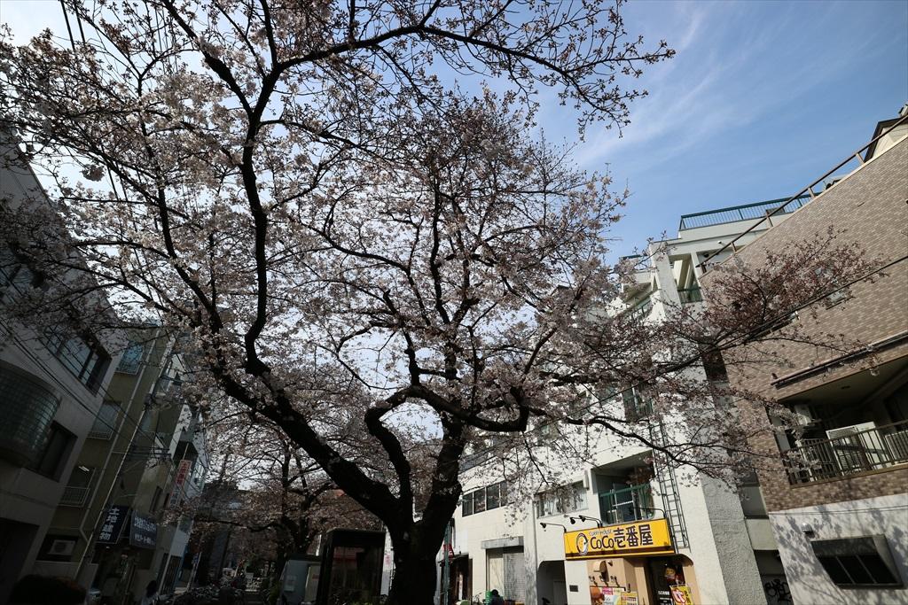 昨29日の桜_2