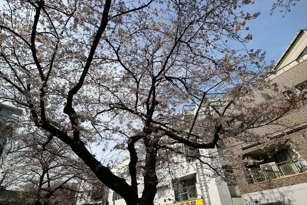 昨29日の桜_3