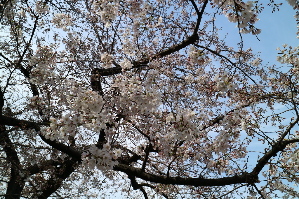 昨29日の桜_4