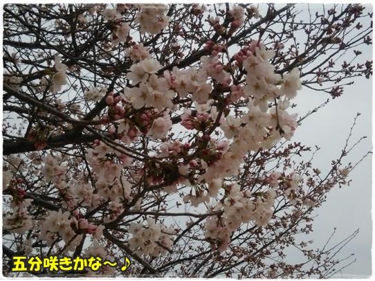 sakura1_2016041022044336a.jpg