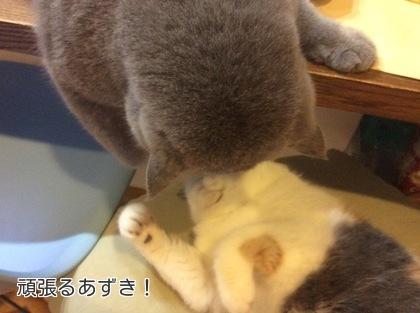 あずきも猫パンチの用意
