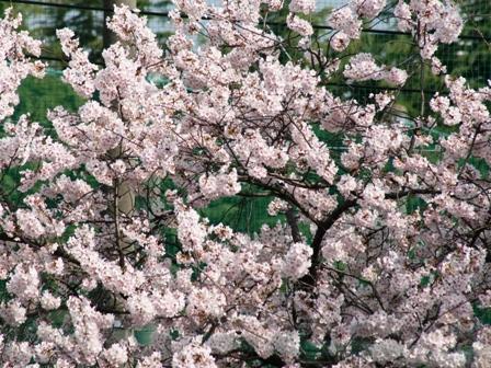 20160406桜アップ
