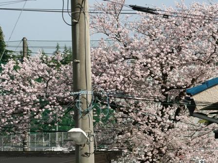20160406桜