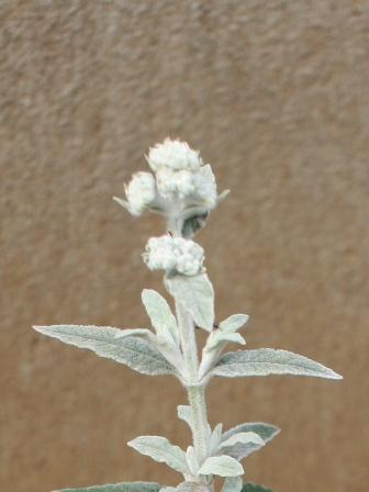 20160410ブッドレアシルバーアニバーサリー花芽