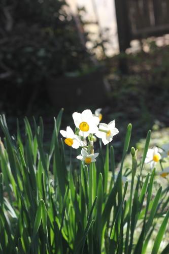 寒咲き水仙
