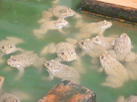 Frog Farm 1