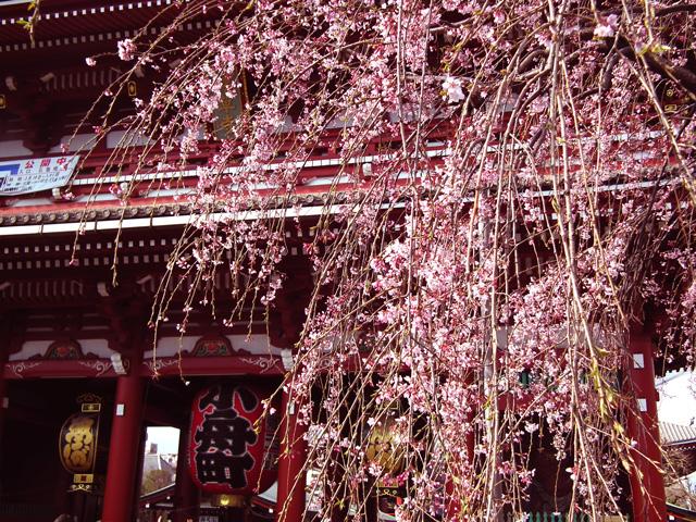2016年浅草寺の桜(1)
