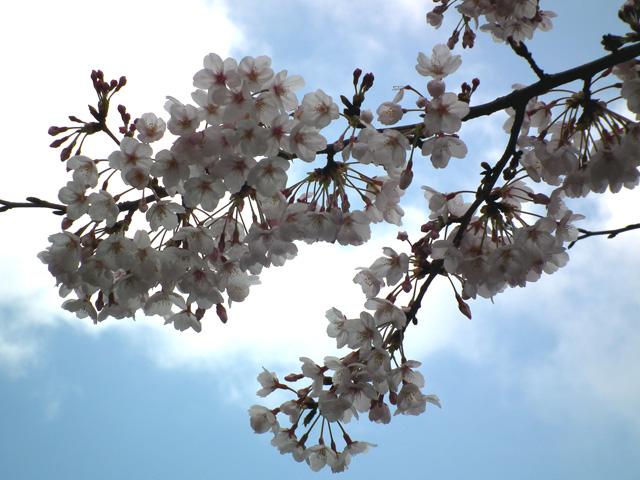 2016年浅草寺の桜(2)
