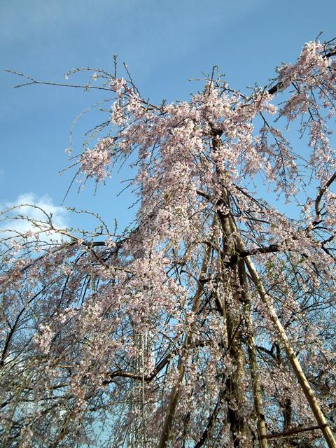 2016墨田公園の桜(2)