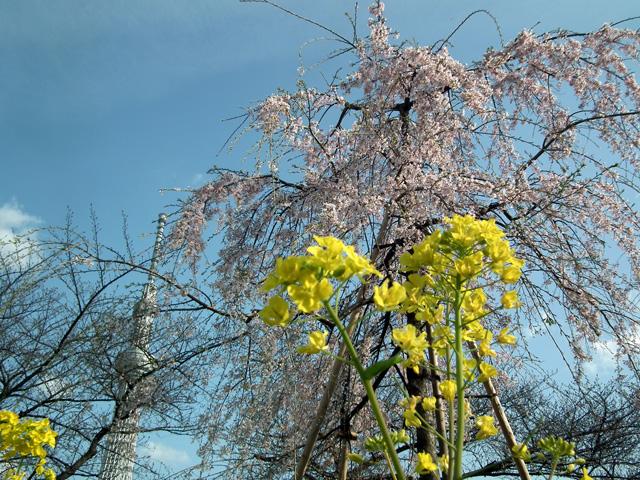 2016墨田公園の桜(3)