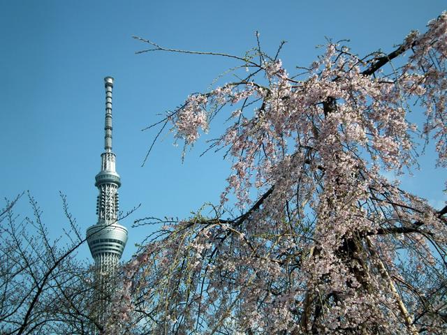 2016墨田公園の桜(4)