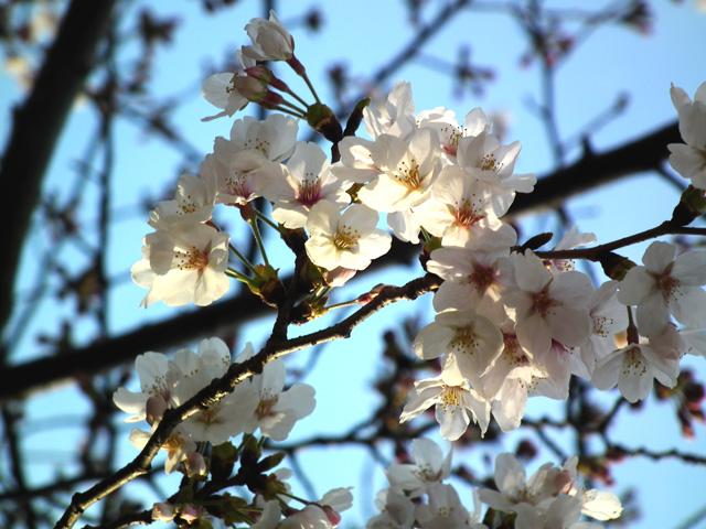 2016墨田公園の桜(5)