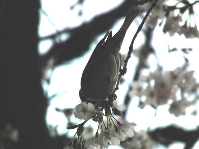 2016墨田公園の桜(6)