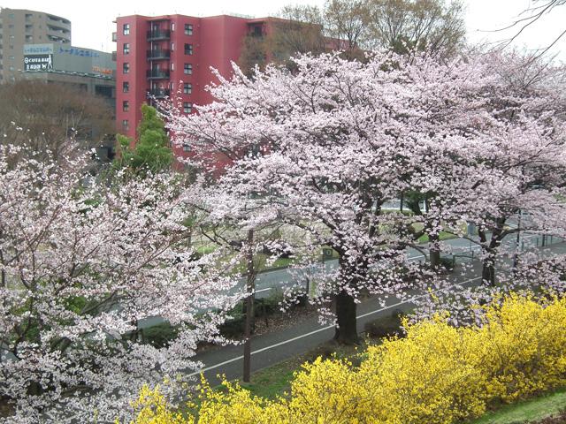 2016年 昭和記念公園の桜(15)