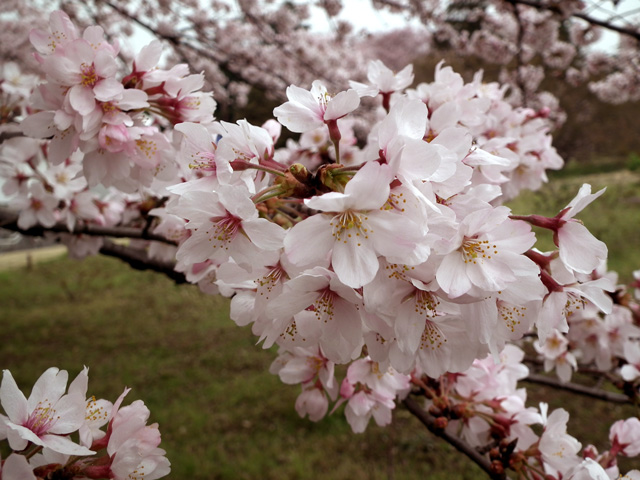 2016年 昭和記念公園の桜(2)