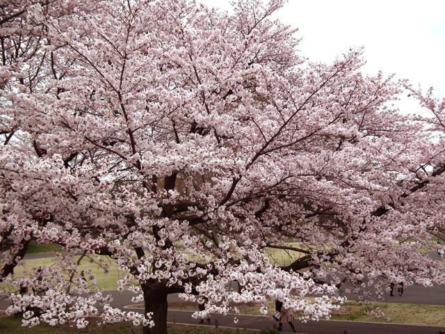 2016年 昭和記念公園の桜(3)