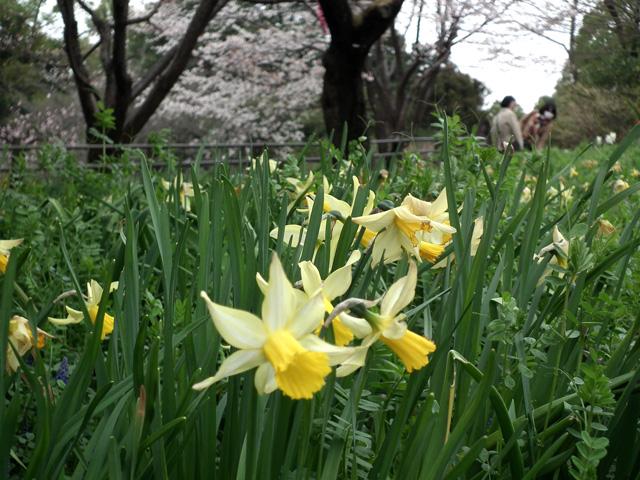 2016年 昭和記念公園の桜と水仙