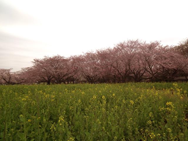 2016年 昭和記念公園の桜(11)