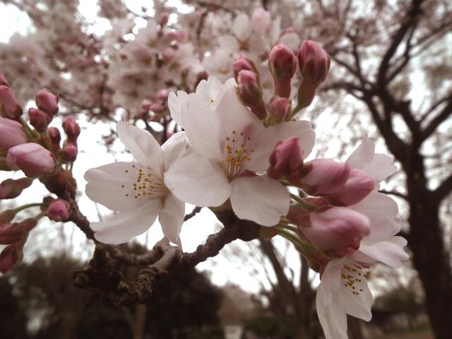 2016年 昭和記念公園の桜(12)