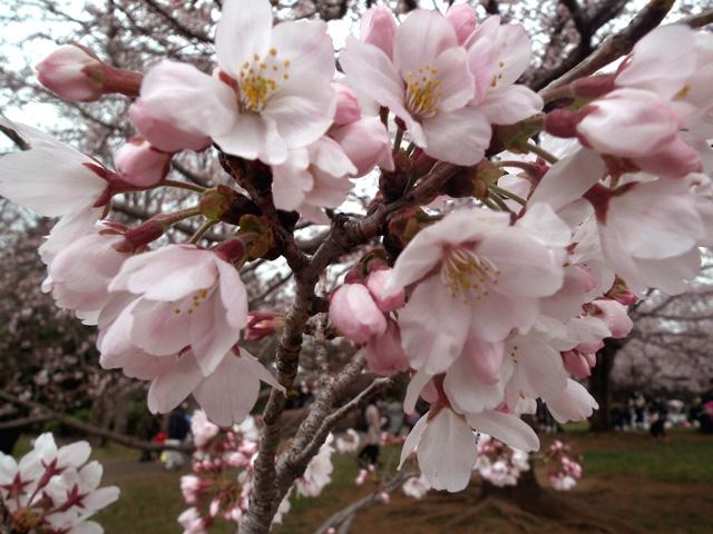 2016年 昭和記念公園の桜(13)