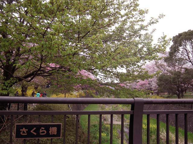 2016年 昭和記念公園の桜(4)