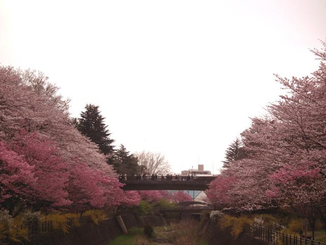 2016年 昭和記念公園の桜(5)
