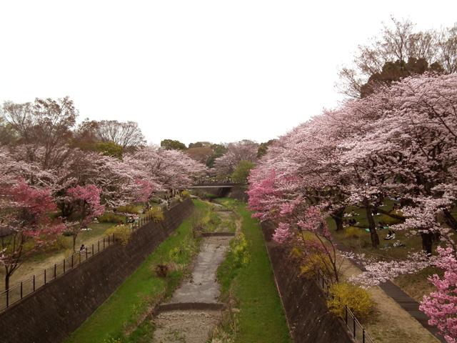 2016年 昭和記念公園の桜(6)