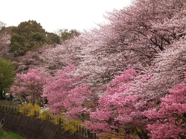 2016年 昭和記念公園の桜(7)