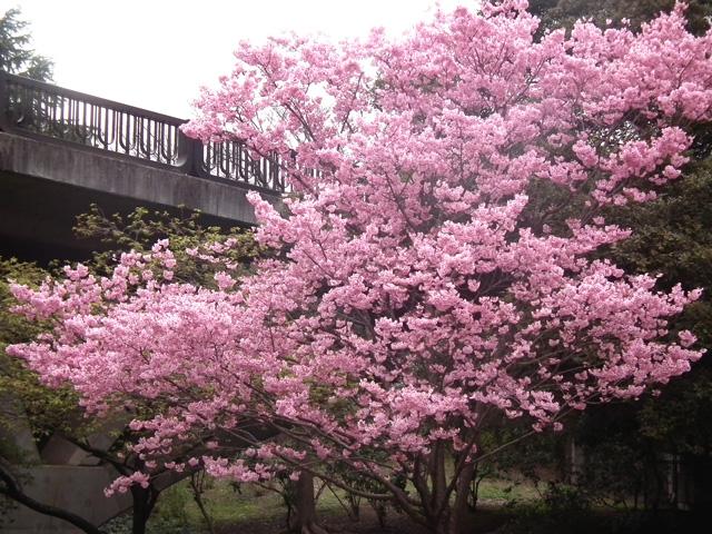 2016年 昭和記念公園の桜(8)