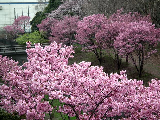 2016年 昭和記念公園の桜(9)