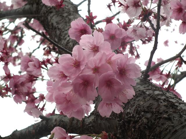 2016年 昭和記念公園の桜(10)