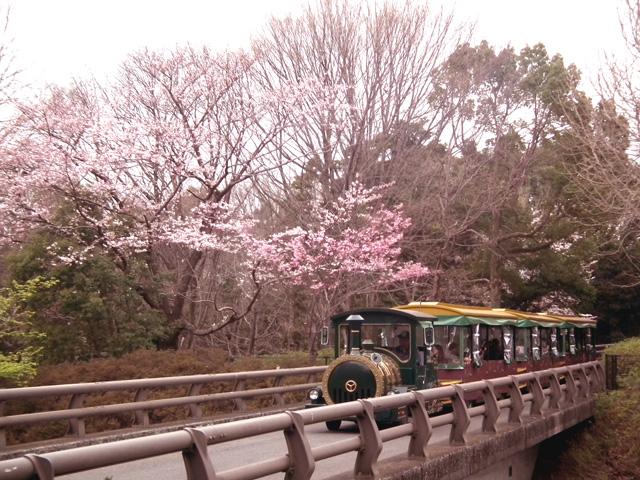 2016年 昭和記念公園の桜(14)