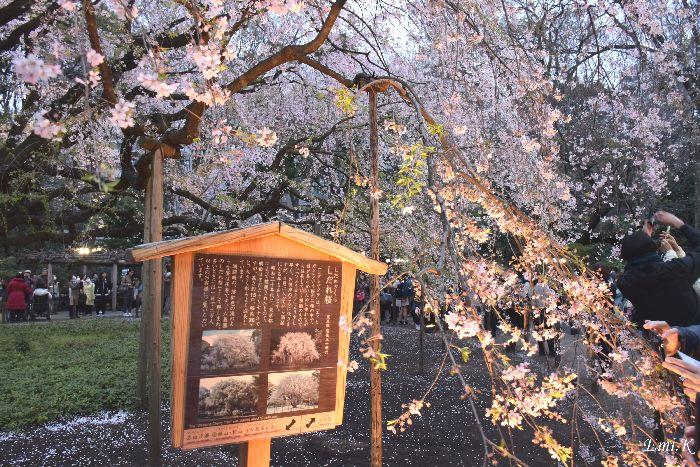 013-New-Emi-枝垂桜