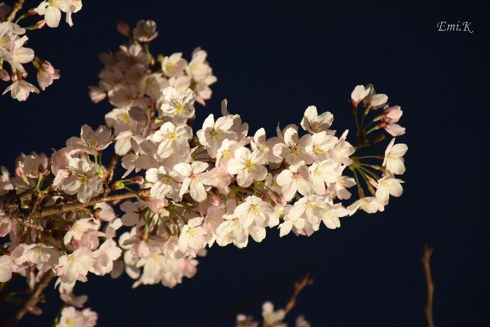 057-New-Emi-染井吉野