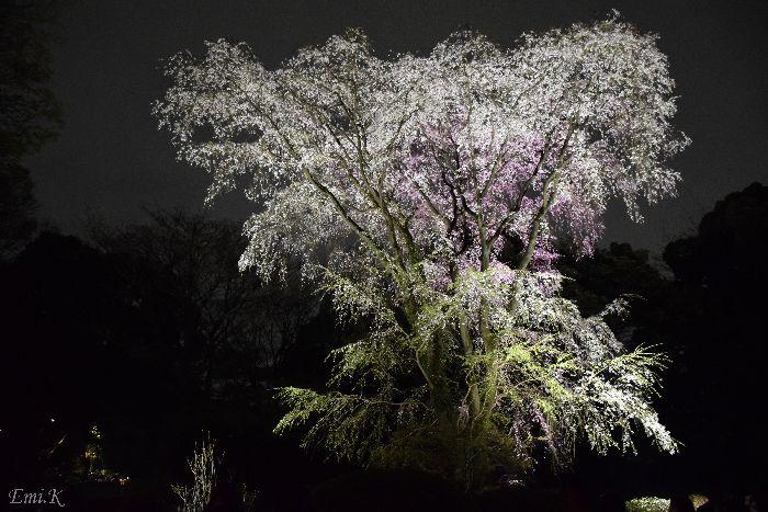 097-New-Emi-枝垂桜ライトアップ